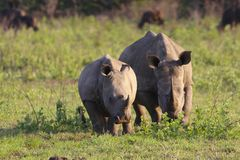 Rhinoceros family Stock Photos