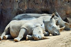 Rhinoceros Family Sleeping Stock Image