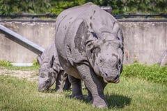 Rhinoceros Family Walk. In the Safari stock images