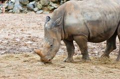 Rhinoceros feeding Royalty Free Stock Photography