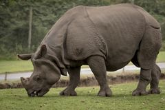 Rhinoceros feeding at West midlands safari park and zoo. Near kidderminster stock photography