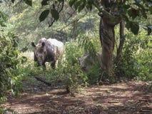 White Rhinoceros in field, Uganda, Africa. White rhinoceros in sunny field of sanctuary of Uganda, Africa Royalty Free Stock Photo
