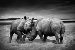 Rhinoceros fighting. Two rhinoceros fighting head to head monochrome image royalty free stock photos