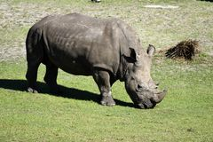 Rhinoceros at Florida wildlife reserve Royalty Free Stock Images