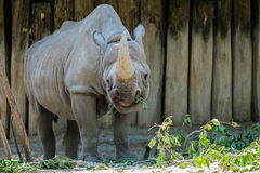 A rhinoceros with food in its mouth. The rhinoceros is in the process of eating. Some of the food is already in its mouth Stock Image