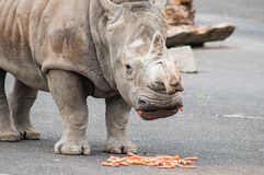 Rhinoceros with food Royalty Free Stock Images