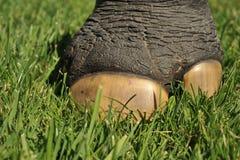 Rhinoceros foot in a field of grass. Rhinoceros foot with large toenail in a grass field Stock Photo