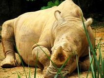 Rhinoceros in forest Royalty Free Stock Photo