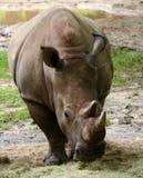 Rhinoceros front view Stock Photo