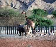 Rhinoceros and giraffe walking Royalty Free Stock Image