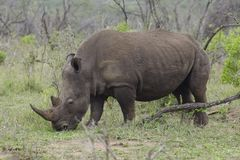 Rhinoceros grazes in African plains Royalty Free Stock Images