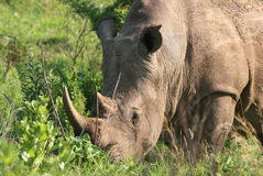 Rhinoceros grazing Royalty Free Stock Photo