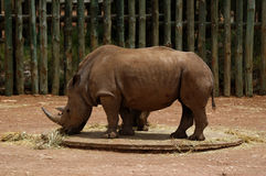 Rhinoceros grazing. Several rhinoceros grazing at an open plains zoo stock photography