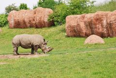 Rhinoceros. Grazing in pasture at Toronto Zoo Royalty Free Stock Images