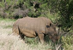 Rhinoceros Grazing in South Africa royalty free stock photos