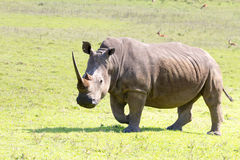 A rhinoceros grazing in the Tala Private Game Reserve in South Africa Stock Photo