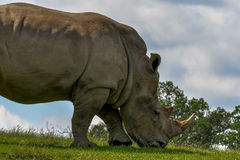 Rhinoceros. A Rhinoceros grazing under the afternoon sun royalty free stock image