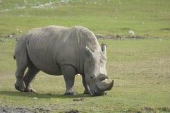 Rhinoceros. A grazing rhinoceros on a vast African grassland royalty free stock photography