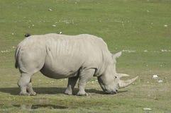 Rhinoceros. A grazing rhinoceros on a vast African grassland Royalty Free Stock Photo