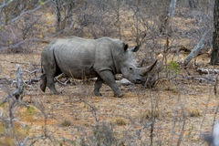 Rhinoceros in Greater Kruger National Park, South Africa Royalty Free Stock Photography