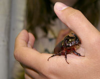 Rhinoceros on the hand. Rhinoceros beetle climbing on the hand Stock Photography