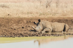 Rhinoceros having a mudbath Royalty Free Stock Images
