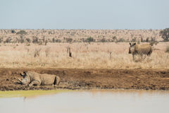 Rhinoceros having a mudbath Royalty Free Stock Photography