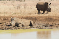 Rhinoceros having a mudbath Stock Photos