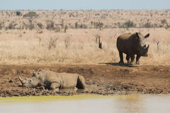 Rhinoceros having a mudbath Stock Photography