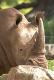 Rhinoceros head close-up Royalty Free Stock Photos