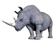 Rhinoceros head down Royalty Free Stock Images