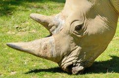 Rhinoceros head Stock Photography
