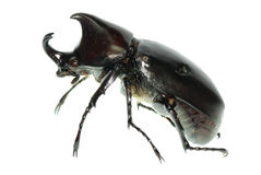 Rhinoceros hercules beetle Royalty Free Stock Photo