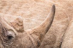 Rhinoceros horn close-up stock image