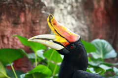 Rhinoceros Hornbill bird Stock Images