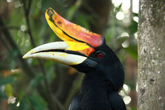 Rhinoceros Hornbill bird Royalty Free Stock Image