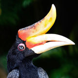 Rhinoceros Hornbill Royalty Free Stock Images