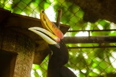 Rhinoceros Hornbill in the cage stock images