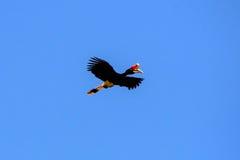 Rhinoceros hornbill captured in flight Royalty Free Stock Photo