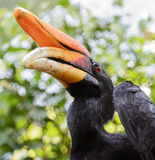 Rhinoceros Hornbill Royalty Free Stock Image