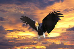 Rhinoceros Hornbill while flying to you Stock Photos