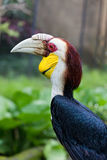 Rhinoceros Hornbill perched Royalty Free Stock Image