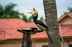 Rhinoceros Hornbill Stock Photo