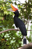 Rhinoceros Hornbill in a tree. stock photography