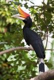 Rhinoceros Hornbill in a tree. Stock Photography
