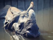 Big rhino in the water stock photography