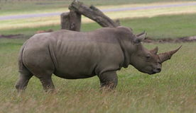 Rhinoceros. Huge rhino walking in the grass Royalty Free Stock Photography