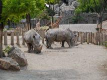 Rhinoceros in the hungarian zoo. Two rhinos the grey big mammals Royalty Free Stock Photos
