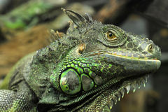Rhinoceros Iguana Royalty Free Stock Photos