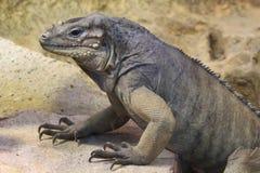 Rhinoceros iguana Stock Photos